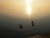 Cigni nell'acqua al tramonto Fotografia Stock Libera da Diritti