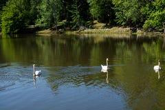 Cigni nell'ambiente naturale Fotografia Stock Libera da Diritti