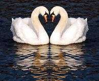 Cigni nell'amore Fotografia Stock Libera da Diritti