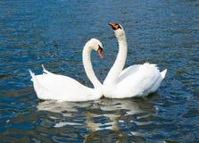 Cigni nell'amore, Hyde Park Fotografia Stock