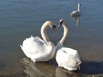 Cigni nell'amore sul fiume Fotografia Stock Libera da Diritti