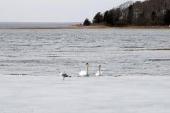 Cigni nell'inverno Fotografia Stock