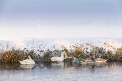 Cigni di inverno immagini stock libere da diritti