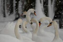 Cigni nella neve nell'inverno mentre nevicando immagini stock libere da diritti