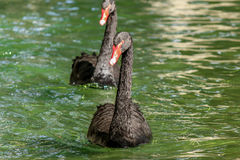 Cigni neri fotografia stock libera da diritti