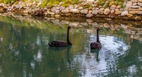 Cigni neri che galleggiano in uno stagno Immagine Stock