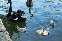 Cigni neri con i loro pulcini fotografie stock libere da diritti