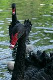 Cigni neri con i loro pulcini immagini stock libere da diritti