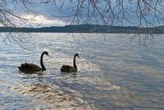 Cigni neri nel lago di tramonto Immagine Stock Libera da Diritti