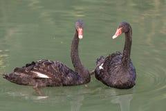 Cigni neri nell'acqua verde Fotografia Stock Libera da Diritti