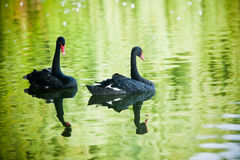 Cigni neri sul lago Immagine Stock
