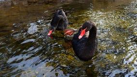 Cigni neri sull'inverno Fotografia Stock Libera da Diritti