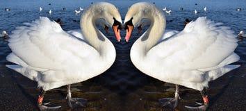 Cigni rispecchiati nel lago Fotografia Stock