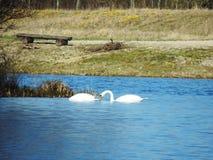 Cigni romantici che nuotano nel lago fotografia stock