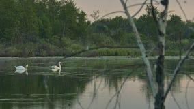 Cigni selvaggi dell'orologio su un lago della foresta attraverso i rami di un albero asciutto archivi video