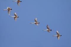 Cigni selvatici che volano nel cielo blu Fotografie Stock Libere da Diritti