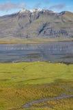 Cigni selvatici e pecore in un fiordo islandese, Berufjordur Immagini Stock Libere da Diritti