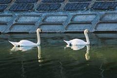 Cigni splendidi nel fiume fotografia stock libera da diritti