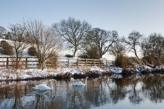 Cigni su un fiume nell'inverno Immagine Stock