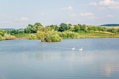 Cigni su un lago Immagine Stock