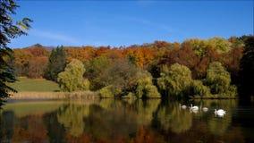Cigni su un lago archivi video
