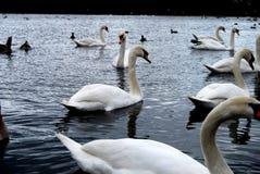 Cigni su un lago Fotografia Stock Libera da Diritti