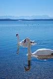 Cigni su un lago davanti all'intervallo di montagna Immagini Stock Libere da Diritti