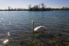 Cigni su un lago Jarun Fotografia Stock Libera da Diritti
