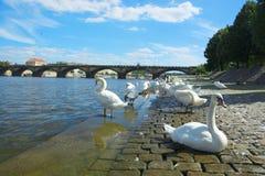 Cigni sul fiume della Moldava a Praga con le nuvole ed il ponte nel fondo immagini stock libere da diritti