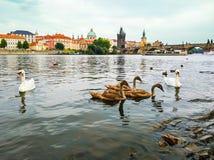 Cigni sul fiume della Moldava, sulle torri, su Charles Bridge e su Praga Città Vecchia nei precedenti, repubblica Ceca Bello paes Fotografie Stock Libere da Diritti
