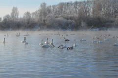 Cigni sul lago fotografie stock libere da diritti