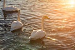 Cigni sul lago all'alba nell'inverno Fotografie Stock Libere da Diritti