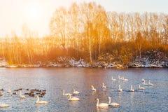 Cigni sul lago all'alba nell'inverno Fotografie Stock