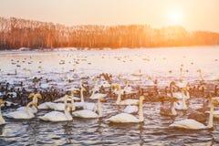 Cigni sul lago all'alba nell'inverno Fotografia Stock Libera da Diritti