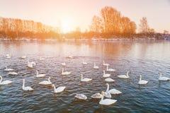 Cigni sul lago all'alba nell'inverno Immagini Stock