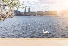 Cigni sul lago Alster a Amburgo il giorno soleggiato nella primavera Immagine Stock