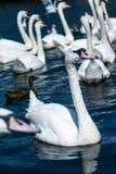 Cigni sul lago Alster vicino municipio Amburgo, Germania Immagine Stock Libera da Diritti