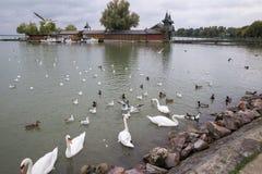 Cigni sul lago Anatra sul lago Gabbiani sul lago Cigni bianchi Cigni che nuotano sul lago I gabbiani di mare sorvolano il lago Fotografia Stock
