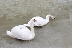 Cigni sul lago in primavera Fotografia Stock