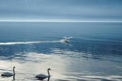 Cigni sul lago immagini stock
