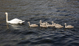 Cigni sull'acqua Fotografia Stock