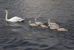 Cigni sull'acqua Immagine Stock