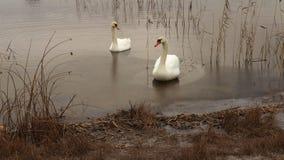 Cigni sull'orlo del lago