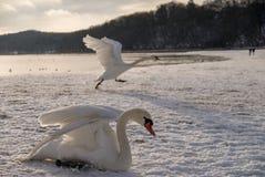 Cigni sulla spiaggia coperta in neve Fotografia Stock Libera da Diritti