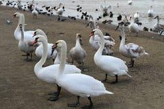 Cigni sulla spiaggia del mare Anapa gennaio La Russia Fotografie Stock