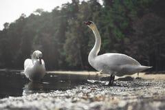 Cigni in un lago Immagine Stock