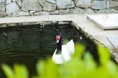 Cigni in uno stagno Fotografia Stock Libera da Diritti