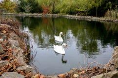 Cigni in uno stagno in autunno Fotografia Stock Libera da Diritti