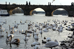 Cigni vicino a Charles Bridge a Praga Fotografia Stock