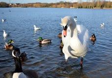 Cigno, anatre e gabbiani sul lago Fotografie Stock Libere da Diritti